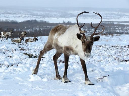 reindeer-2524815_640